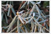 Problem suszy fizjologicznej uroślin zimozielonych oraziglastych